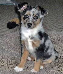 australian shepherd schnauzer mix the 69 best images about dogs on pinterest airedale terrier