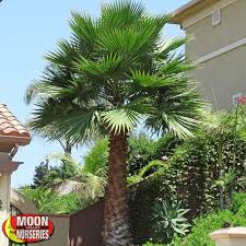 mexican fan palm growth rate mexican fan palm grow pinterest mexican fan palm fan palm and