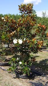 magnolia tree aol image search results