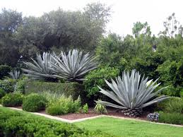do aloe plants need sunlight growing agave u2013 information on agave plant care