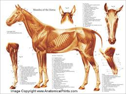 Dog Anatomy Poster Horse Muscle Poster Horse Horse Anatomy And Veterinary Medicine