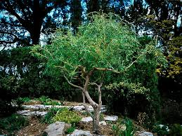 corkscrew willow for sale the tree center