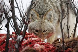 Can Coyotes See Red Light Keep It Simple Tips For Calling Coyotes More Effectively