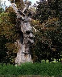 treebeard from lord of the rings spotted in nonsuch park sutton
