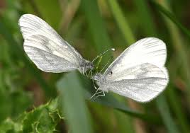 butterfly conservation wood white