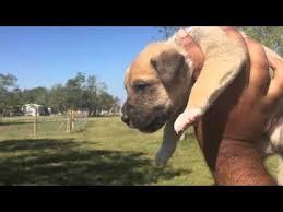 australian shepherd boxer mix australian shepherd boxer puppies youtube