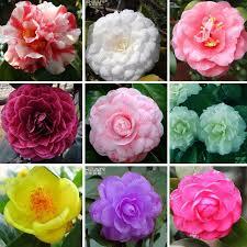 2017 11 kinds of categories camellia seeds potted plants garden
