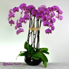 purple orchids purple phalaenopsis orchids in a ceramic planter are stunning