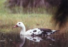 preserving the white winged duck