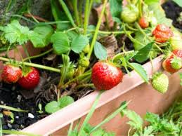 9 delicious fruits to grow indoors reader u0027s digest