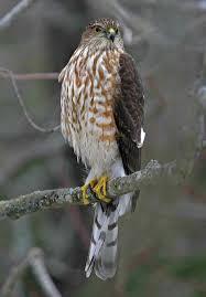 Flies In Backyard An Incredible Sight When A Sharp Shinned Hawk Flies In In My