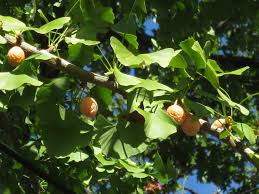 Fruit Tree Identification - how to identify harvest and prepare ginkgo biloba for brain