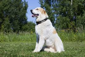 australian shepherd kinds do you know numerous types of strong and sturdy shepherd dogs