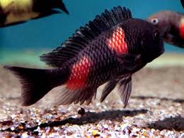 9 best african lake cichlids images on pinterest african