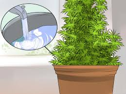 How To Put Christmas Lights On A Tree by How To Grow Your Own Christmas Tree With Pictures Wikihow