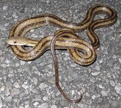 Plains Blind Snake 20 Types Of Snakes You U0027ll Find In Florida