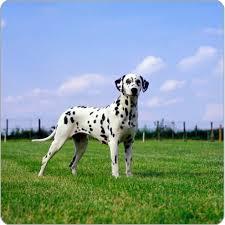 dalmatian dog breeds purina australia