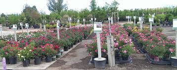 roses plants thetreefarm