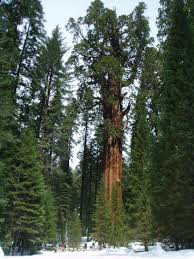 general sherman the tree in the world