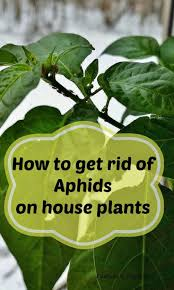 can i get a ladybug what to do about aphids on houseplants