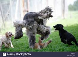 afghan hound dog images afghanistan hound afghan hound canis lupus f familiaris