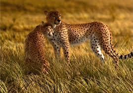 Safari Wall Murals Wall Mural Wallpaper Nature Wilderness Animals Cheetah Safari