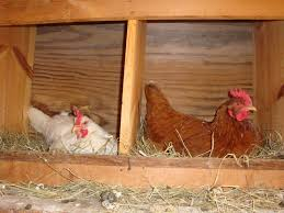6 considerations for building chicken coop nesting boxes the