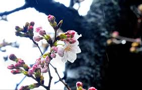 cherry blossoms get an early start in tokyo despite chilly wet
