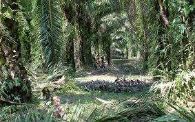 Palm Trees Fruit - one hundred years later heart of congo ships oil again