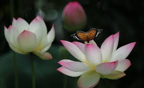 the caterpillar and the lotus