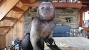 capuchin monkey kills a banana youtube