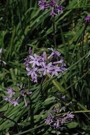 society garlic tulbaghia violacea in houston tx at