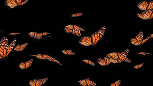 monarch butterfly flying stock footage
