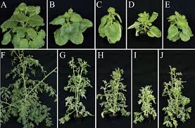 Diseases Of Tomato Plants - characterization of a new world monopartite begomovirus causing