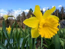 Ideas For Daffodil Varieties Design Naturalizing Daffodils