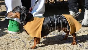 Mini Dachshund Halloween Costumes 9 Dogs Totally Nailed Halloween Rover