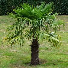 mexican fan palm growth rate windmill palm tree cold hardy palm trees for sale fast growing trees
