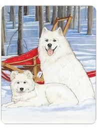 american eskimo dog nz samoyed cb 956 1 jpg