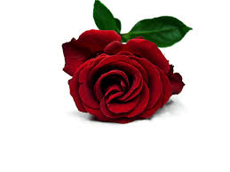 wallpaper flower red rose free red rose download free clip art free clip art on clipart library