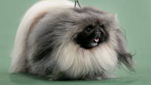 pekingese wins best in show at westminster show fox news