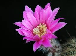 flower blooming free picture cactus flower blooming