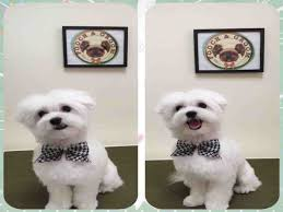 shichon haircuts maltese dogs 6 popular haircut styles and colors