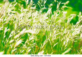 ornamental grasses moving in stock photos ornamental