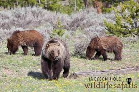 Wyoming wildlife tours images Grizzly 610 in grand teton national park jackson hole wyoming jpg