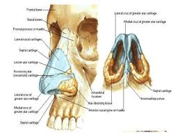 Nose Anatomy And Physiology Human Anatomy Nose Anatomy Examination Of The Nose Anatomy Of