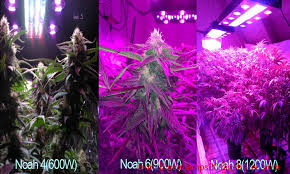 led marijuana grow lights professional settings of led grow lighting in a 2 4 2 4m medical