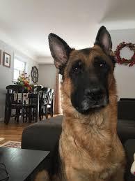 belgian shepherd ottawa lump in neck german shepherd dog forums