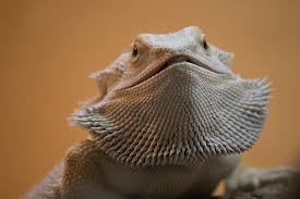 Bearded Dragon Behavior Before Shedding by Bearded Dragon Taming U0026 Body Language Tips Reptifiles