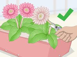 how to grow gerbera daisies with pictures wikihow
