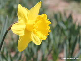 daffodil pictures daffodil flower pictures